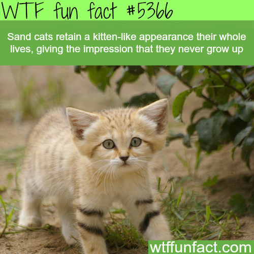 Sand cats look like kittens their whole life  - WTF fun facts