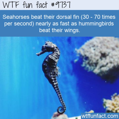 Seahorses beat their dorsal fin (30 - 70 times per second) nearly as fast as hummingbirds beat their wings.