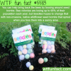 seedles wtf fun facts