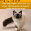 siamese cats wtf fun facts