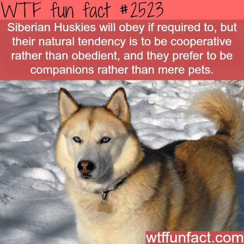 Siberian Huskies -WTF funfacts