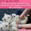 siberian samoyed dogs wtf fun fact