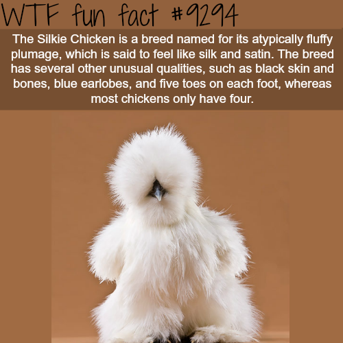 Silkie Chicken - WTF fun fact