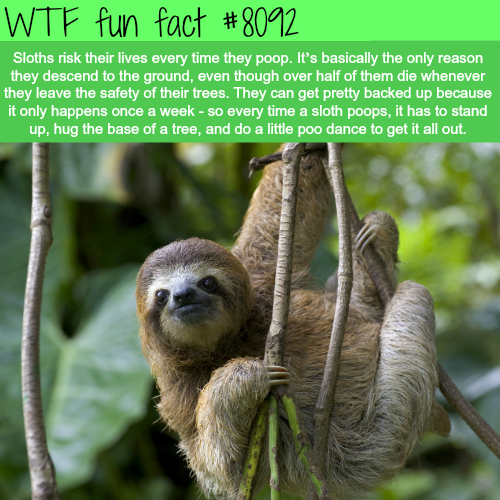 Sloths risk their lives every time they poop - WTF fun facts