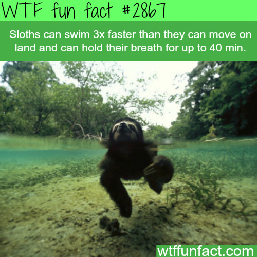 Sloths swimming speed -WTF fun facts