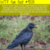 smart crows wtf fun fact