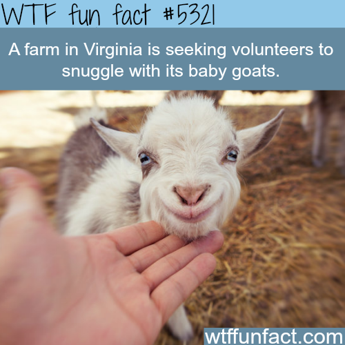 Snuggle with baby goats - WTF fun facts