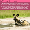 solo the african wild dog wtf fun fact