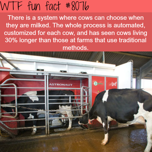 Some farms now make the cow choose when they want to be milked - WTF fun fact