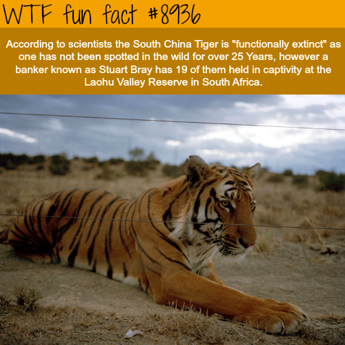 South China Tiger - WTF fun fact