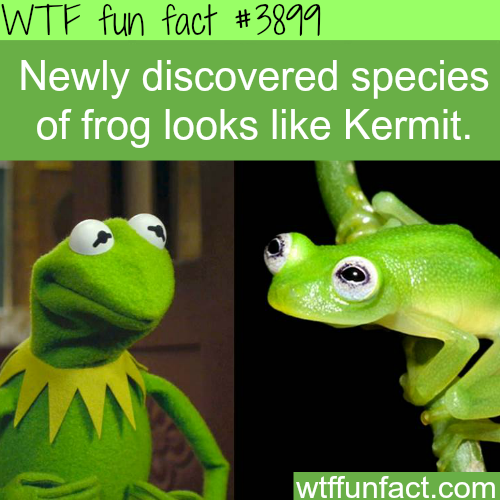 Species of frog that looks like Kermit - WTF fun facts