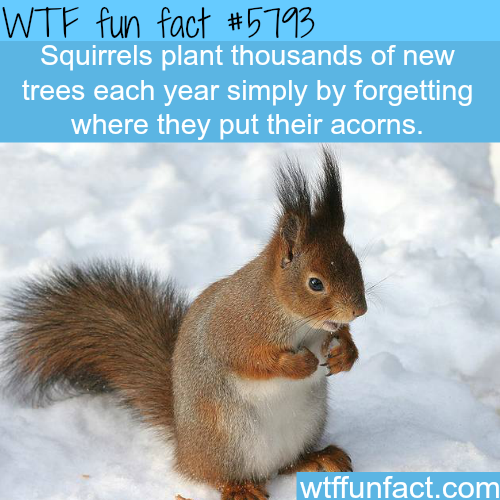 Squirrels plant thousands of trees each year - WTF fun facts