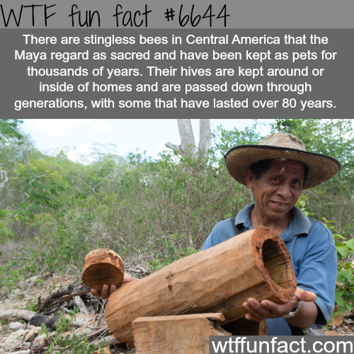 Sting-less bees - WTF fun facts