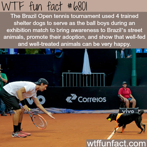 "Street dogs serve as ""Ball boys"" during a tennis match - WTF fun fact"