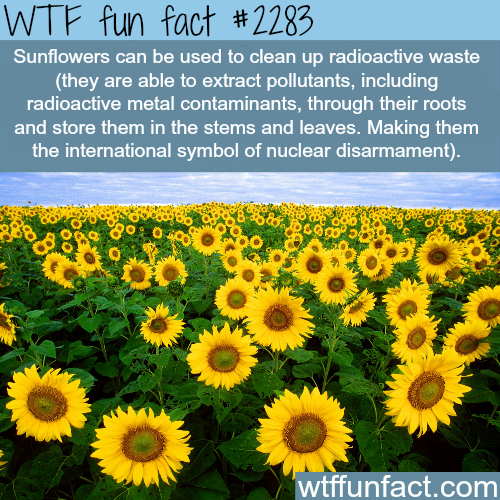 Sunflowers and nuclear disarmament -WTF fun facts