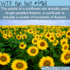 sunflowers facts wtf fun facts