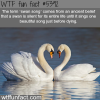 swan song wtf fun facts