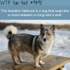 swedish vallhund wtf fun fact