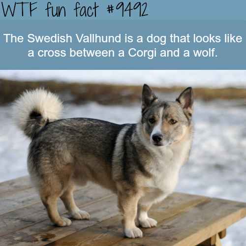 Swedish Vallhund - WTF fun fact