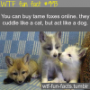 tame foxes for sale