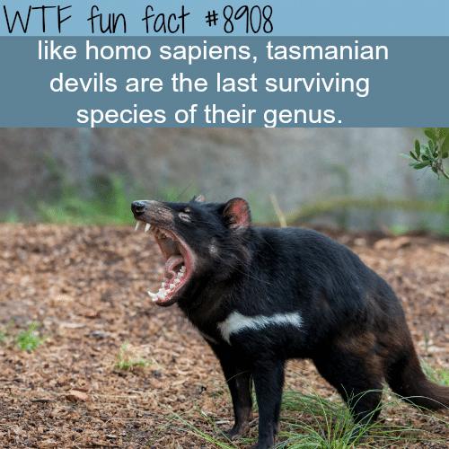 Tasmanian Devils - WTF fun facts