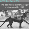 tasmanian tiger pictures animals fact