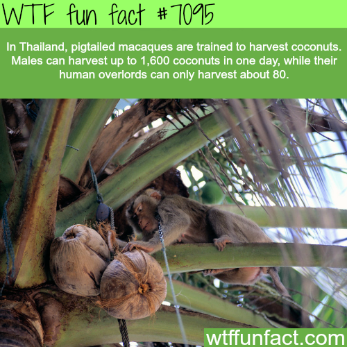 Thailand uses monkeys to harvest coconuts - WTF fun facts
