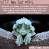 the alaskan wood frog can still live after weeks