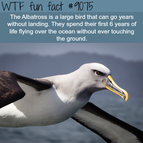 The Albatross - WTF fun facts
