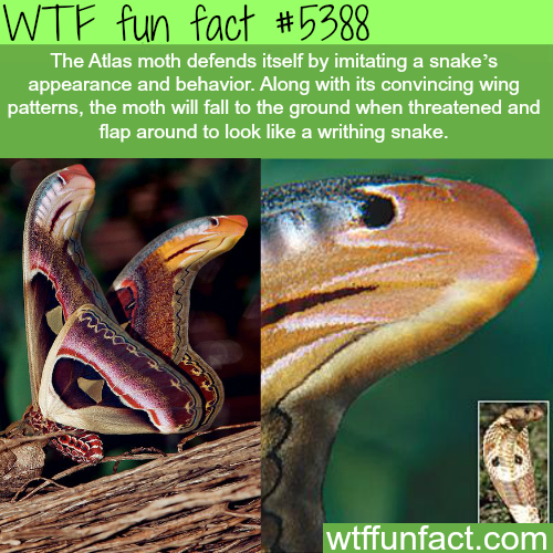 The atlas moth - WTF fun facts