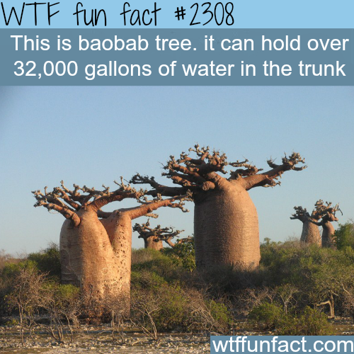 The Baobab tree -WTF funfacts
