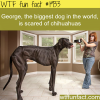 the biggest dog in the world