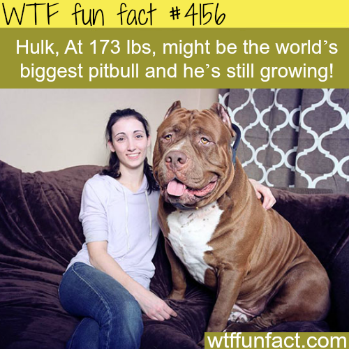 The biggest pitbull in the world -  WTF fun facts
