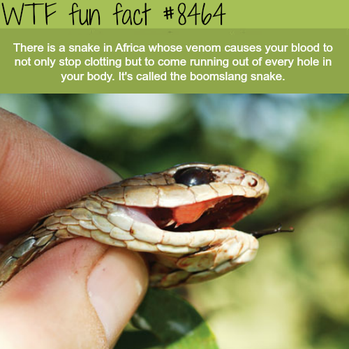 The boomslang snake - WTF fun facts