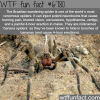 the brazilian wandering spider wtf fun fact