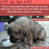 the caucasian mountain dog puppy