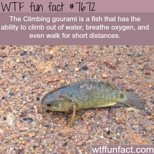 The climbing gourami fish - WTF fun facts
