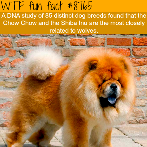 The closest dog to the wolf - WTF fun facts