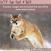 the difference between a cougar and mountain lion