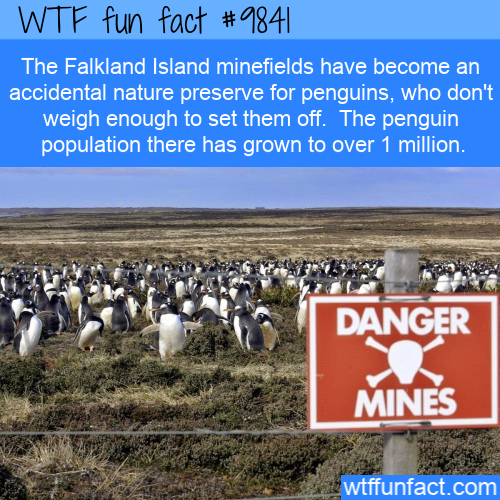 The Falkland Island minefields have become an accidental nature preserve for penguins