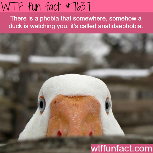 The fear of ducks watching you - WTF FUN FACTS