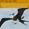 the frigate bird wtf fun fact