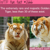 the golden tiger extremely rare animals