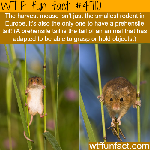 The harvest mouse - WTF fun facts