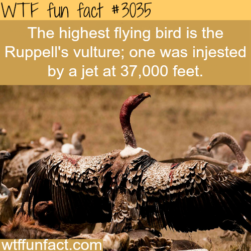 The highest flying bird in the world -  WTF fun facts