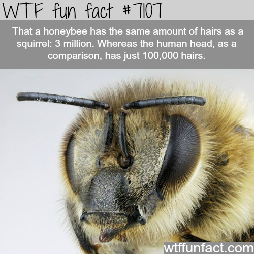 The honeybee has more hair than humans - WTF fun facts