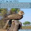the honeyguide bird