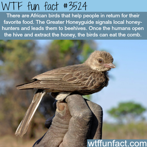 The honeyguide bird - WTF fun facts