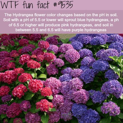 The Hydrangea Flower - WTF fun fact