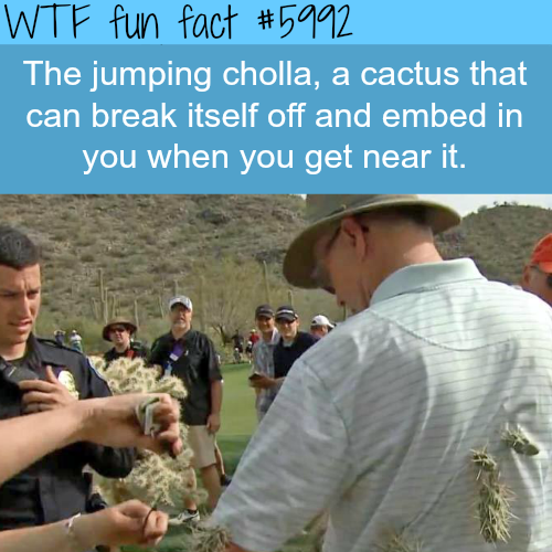 The jumping cholla - WTF fun facts